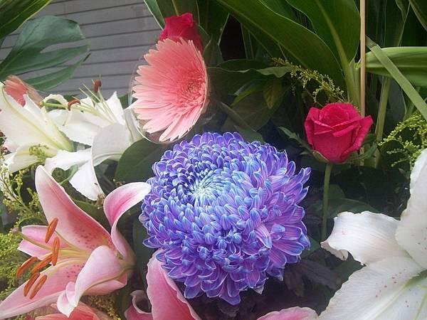 20120729牡丹菊 (5)