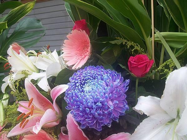 20120729牡丹菊 (6)
