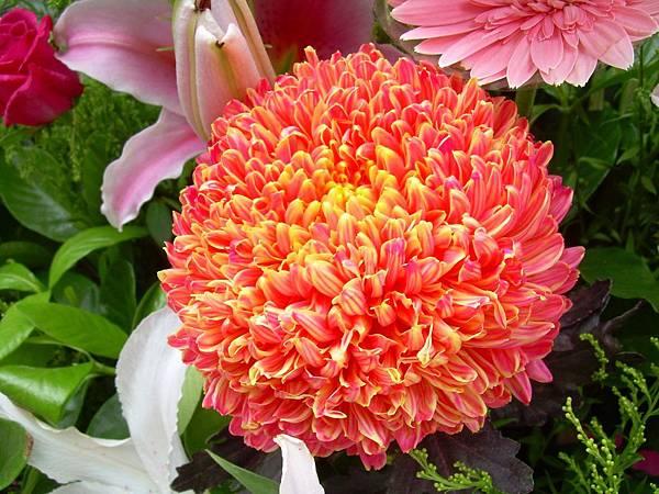 20120729牡丹菊 (10)