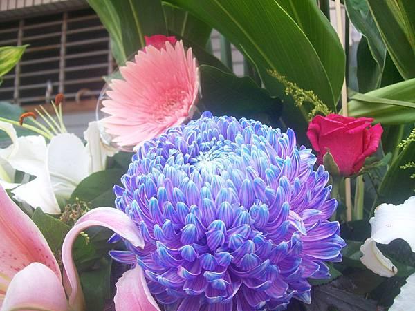 20120729牡丹菊 (1)