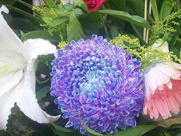 20120729牡丹菊 (0)