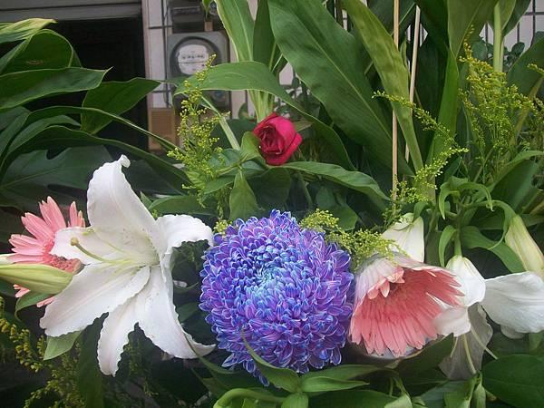 20120729牡丹菊 (7)