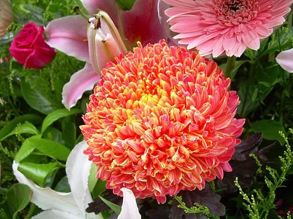 20120729牡丹菊 (9)