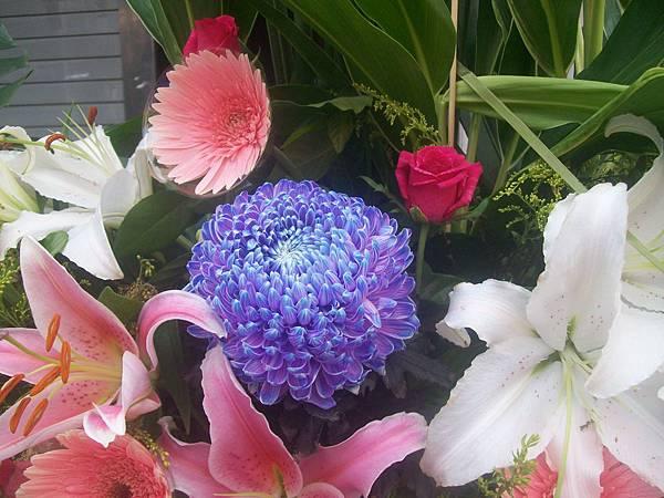 20120729牡丹菊 (8)