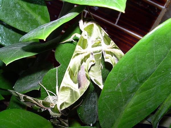 20121013不知道名字的綠色蝴蝶 (39)