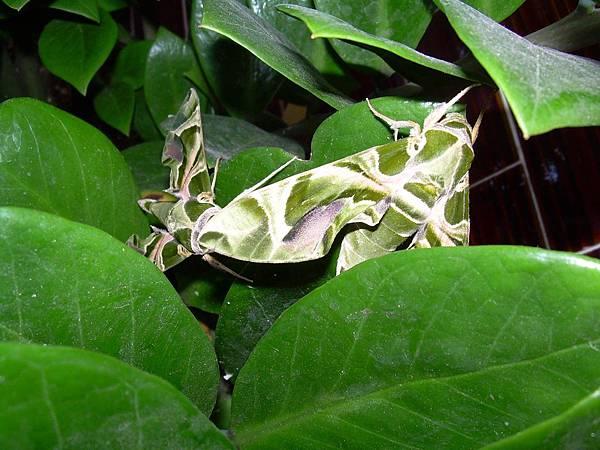 20121013不知道名字的綠色蝴蝶 (35)
