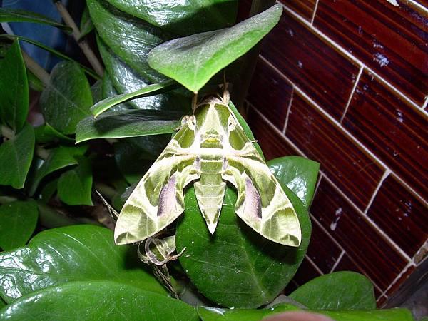 20121013不知道名字的綠色蝴蝶 (41)