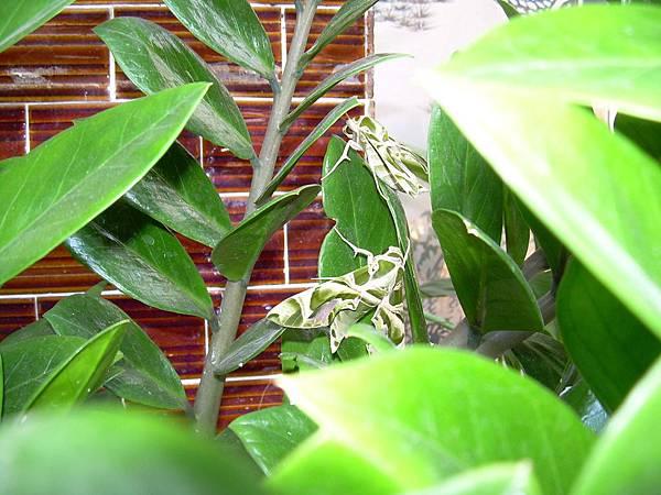 20121013不知道名字的綠色蝴蝶 (38)