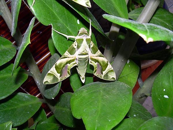 20121013不知道名字的綠色蝴蝶 (36)
