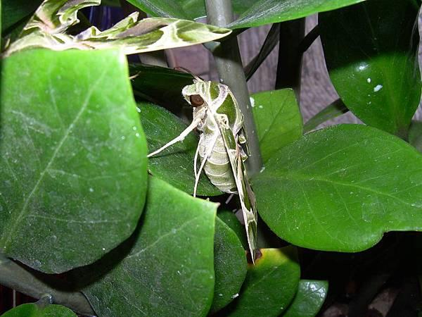 20121013不知道名字的綠色蝴蝶 (37)