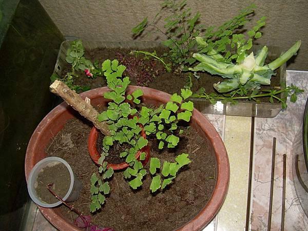 20121021今天跟昨天撿的植物 (33)