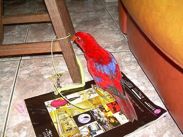20121110紅伶吸蜜鸚鵡 (0)