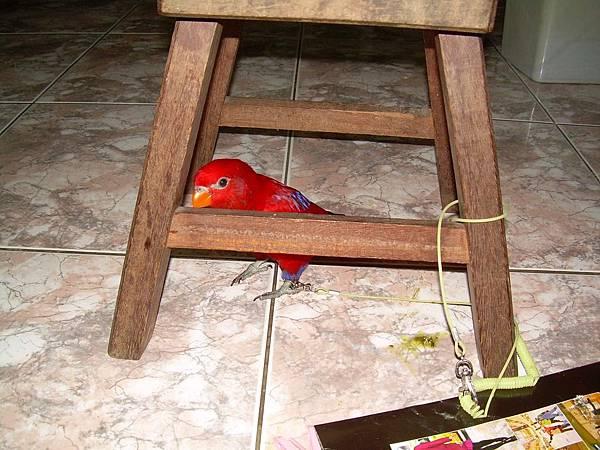 20121110紅伶吸蜜鸚鵡 (1)