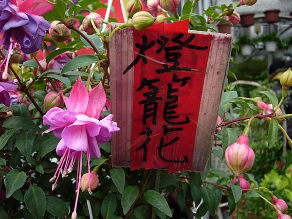 201301108燈籠花