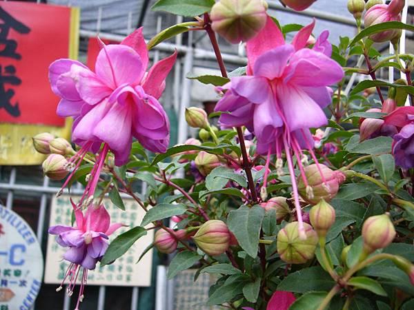 201301108燈籠花 (1)