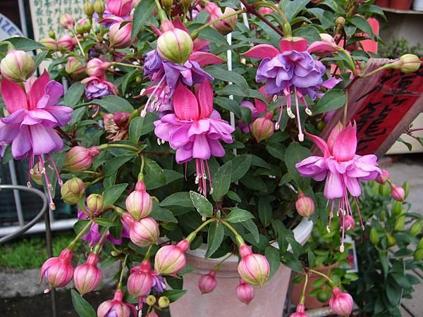 201301108燈籠花 (2)