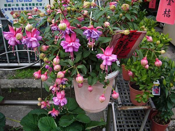 201301108燈籠花 (3)