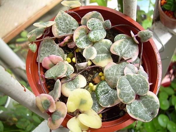 20130303今天買的Ceropegia woodii f. variegata 愛之蔓錦 (6)