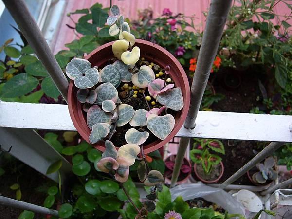20130303今天買的Ceropegia woodii f. variegata 愛之蔓錦 (7)