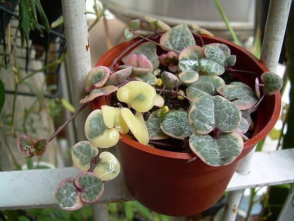 20130303今天買的Ceropegia woodii f. variegata 愛之蔓錦 (8)