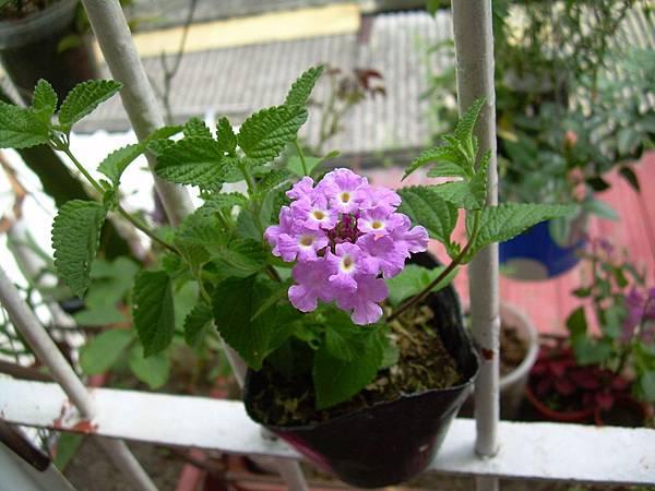 20130425蔓性紫色馬櫻丹 (11)