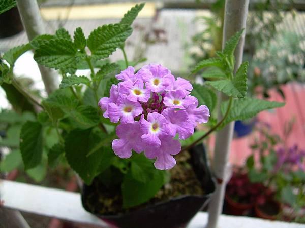 20130425蔓性紫色馬櫻丹 (12)