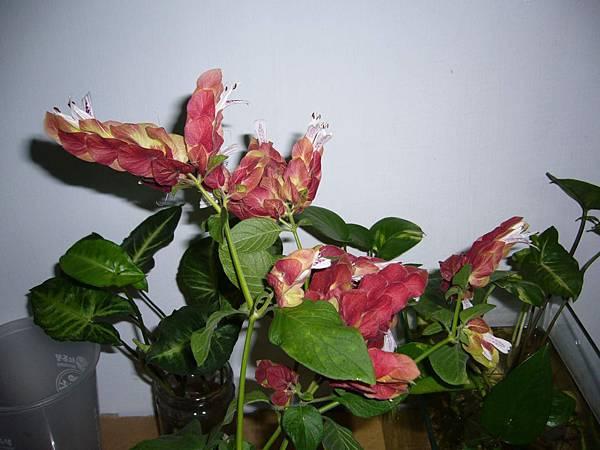 20130426紅蝦花 (0)