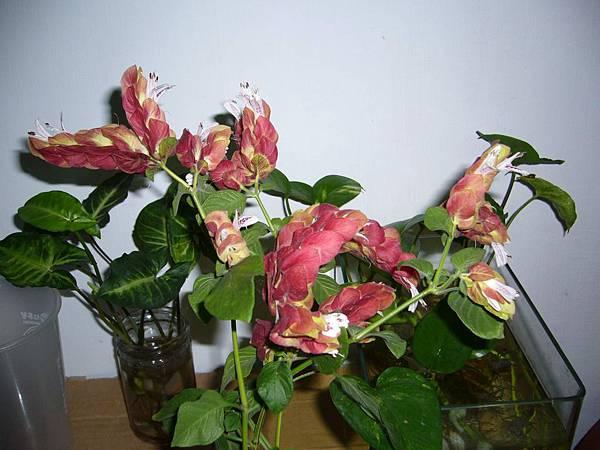 20130426紅蝦花 (1)