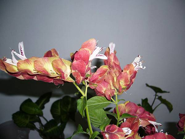 20130426紅蝦花 (2)