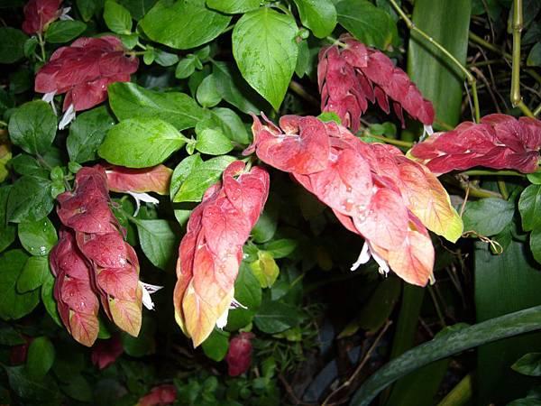 20130426紅蝦花 (5)