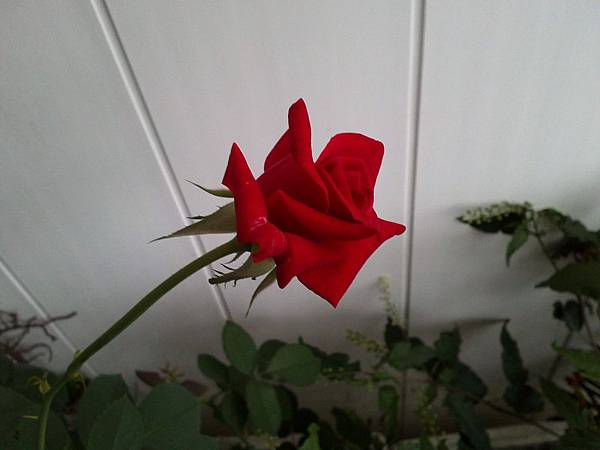 20130520玫瑰20130331 (4)