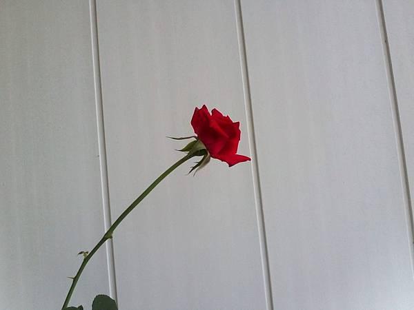 20130520玫瑰20130331 (6)