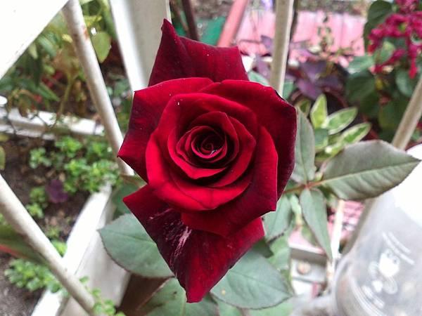 20131102 今天買的玫瑰跟多肉 (0).jpg