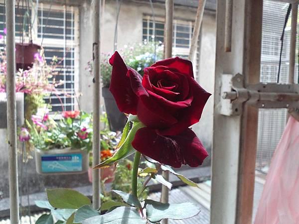 20131102 今天買的玫瑰跟多肉 (3).jpg