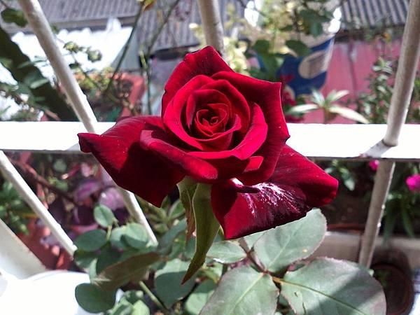 20131102 今天買的玫瑰跟多肉 (10).jpg