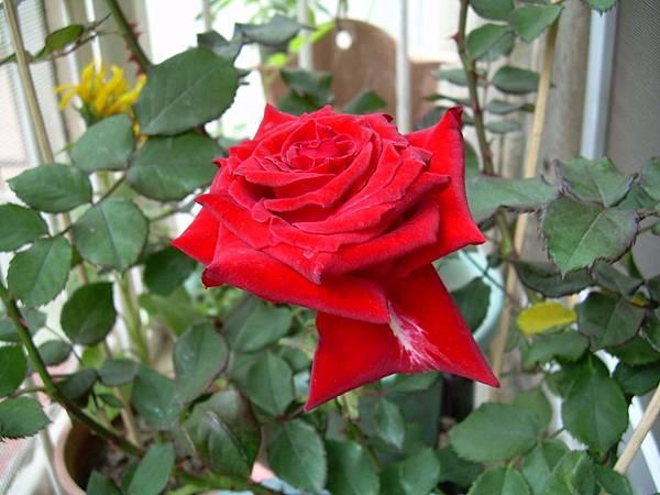 20120311 玫瑰花