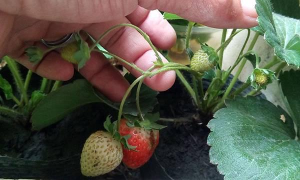 草莓20190102