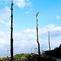 大菁坑枯樹