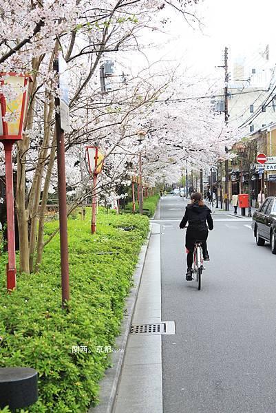 騎腳踏車賞櫻花.jpg
