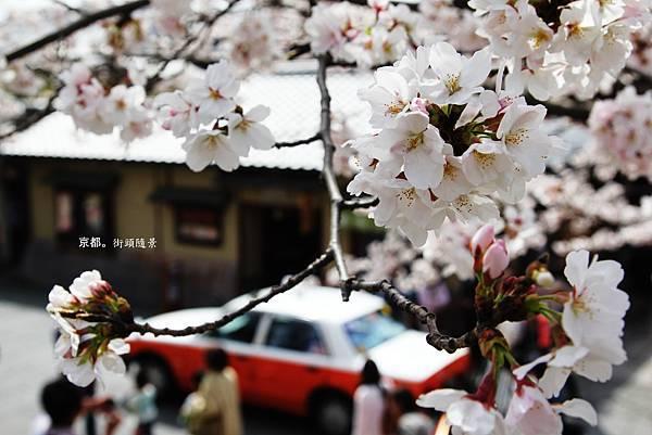 高台寺前小徑櫻花4.jpg