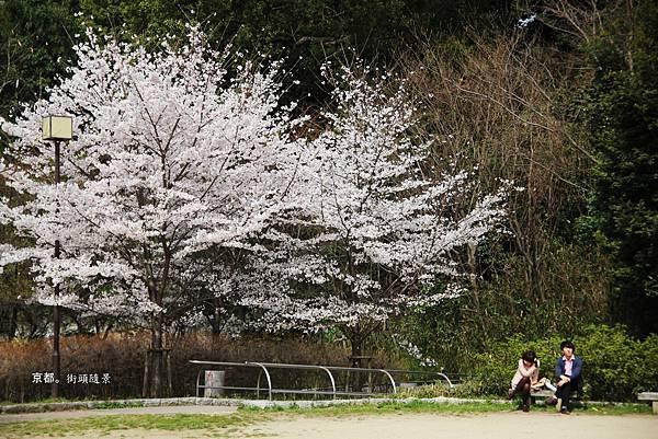 高台寺前小徑櫻花.jpg
