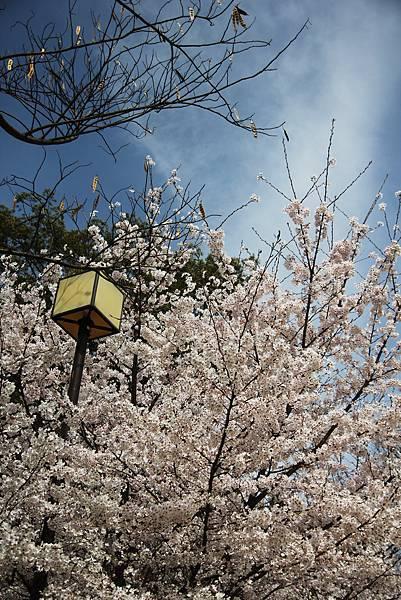 高台寺前小徑櫻花3.jpg