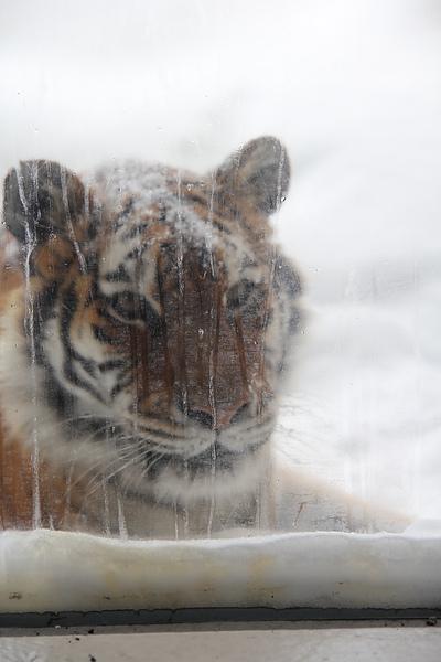 看在雪地裡的老虎,好特別的經驗