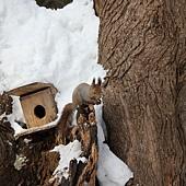 雪地裡驚見小松鼠~