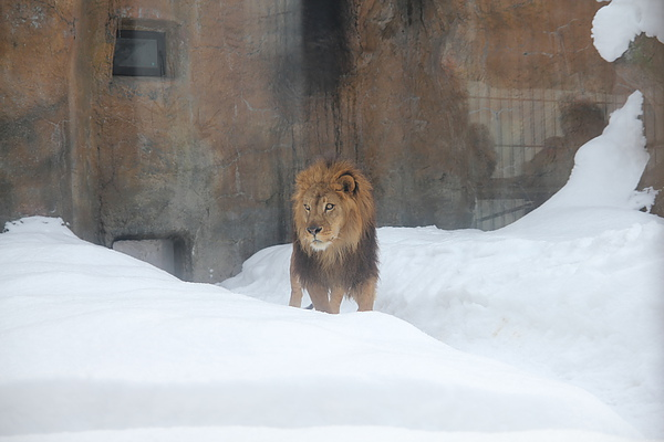 獅子大哥一直看著隔壁的老虎