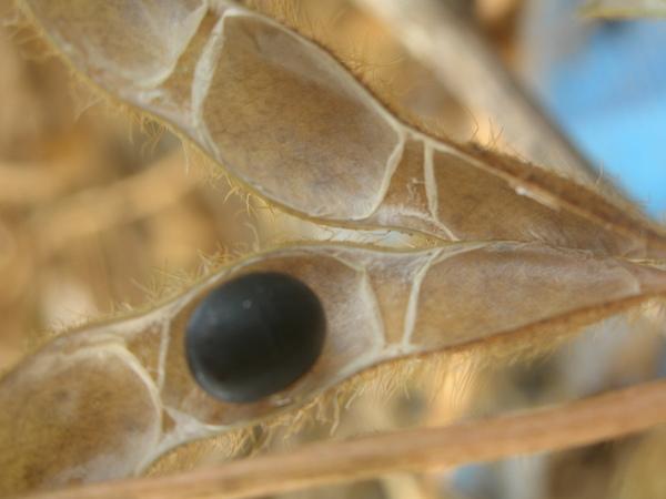 2009黑豆試採