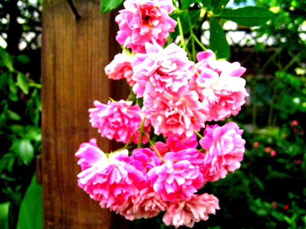 美麗的蔓性玫瑰.jpg