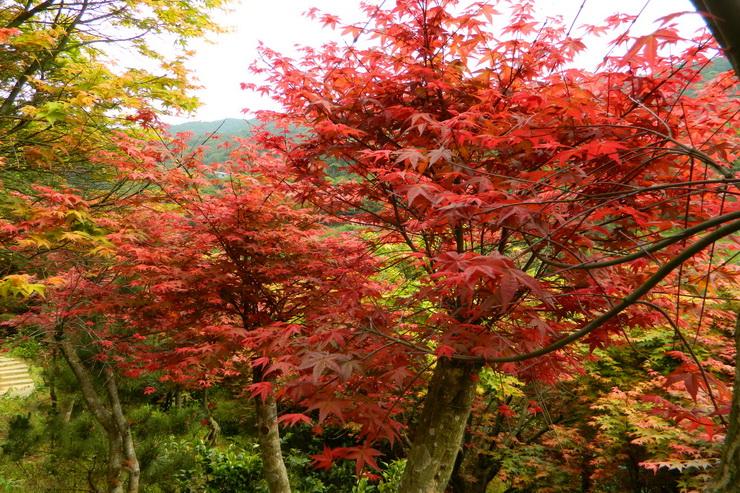 台北奧萬大楓紅-0021
