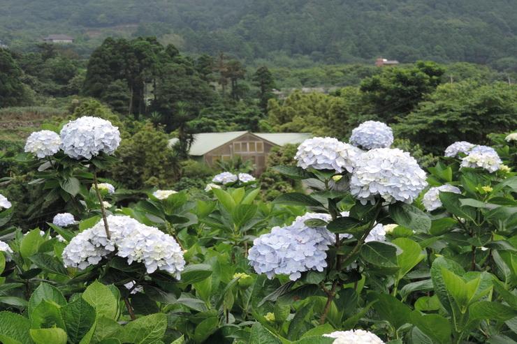 繡球花-0015