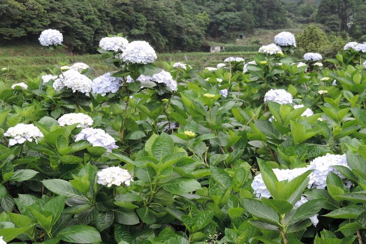 繡球花-0016